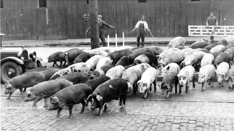 Hogs in the Street