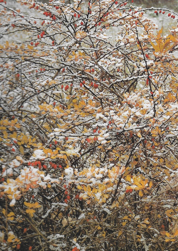 Winter at Holden Arboretum - Japanese Barberry