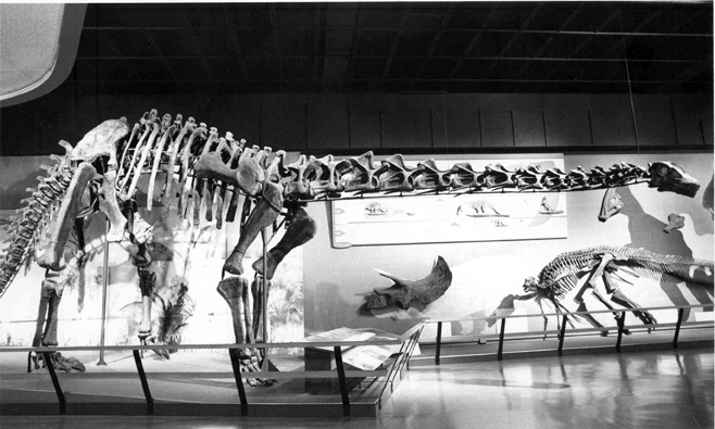 Happy the Haplocanthosaurus, ca. 1977