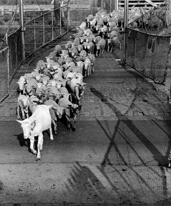 Goat Leads the Way