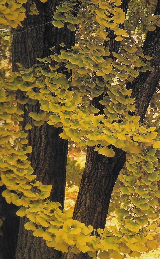 Autumn at Holden Arboretum - Gingko Tree