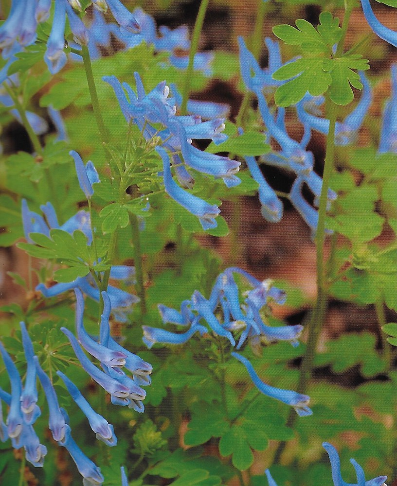 Springtime at Holden Arboretum - Himalyan Corydalis