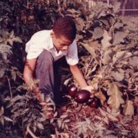 Student Gardener Harvesting Eggplants